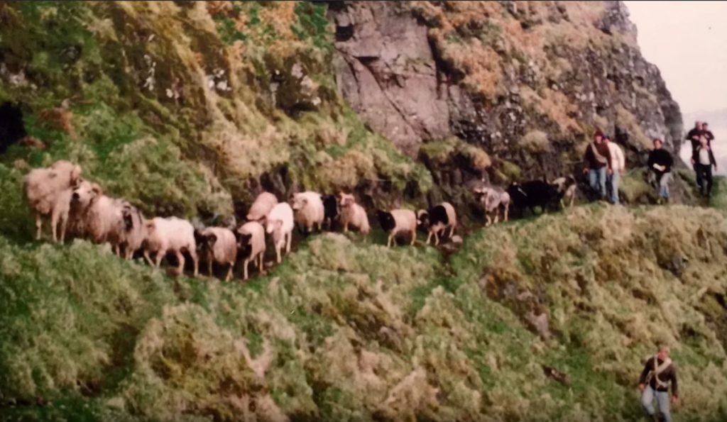Sheep in the Faroe Islands being led along a steep cliff path.