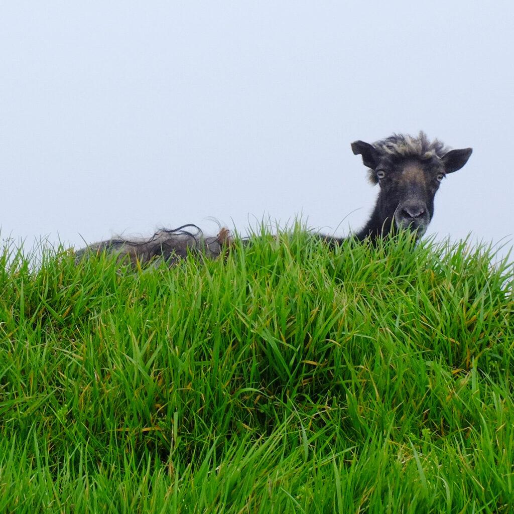 Faroese sheep on the island of Mykines