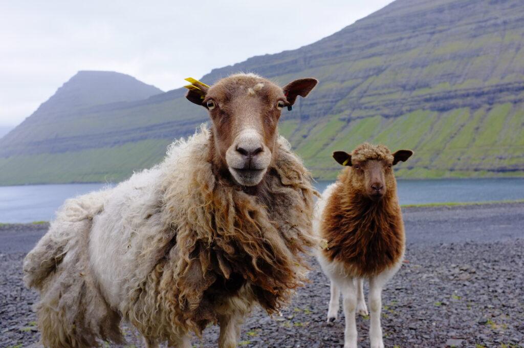 Faroese sheep on the islands of Borðoy