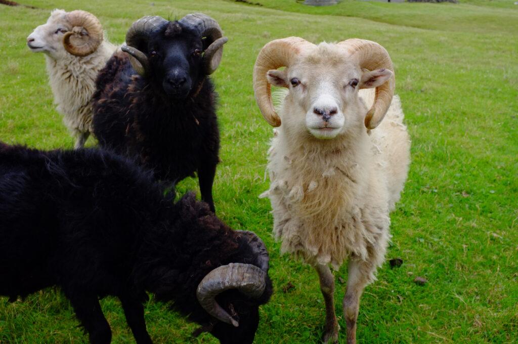Faroese sheep on the island of Suðuroy