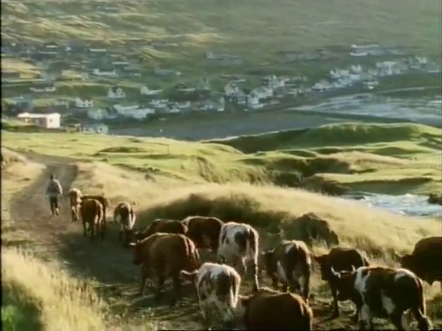 Cattle being led down a path towards a village.